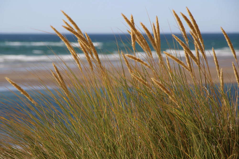 Beach grass blowing in the wind, Oceanside, OR