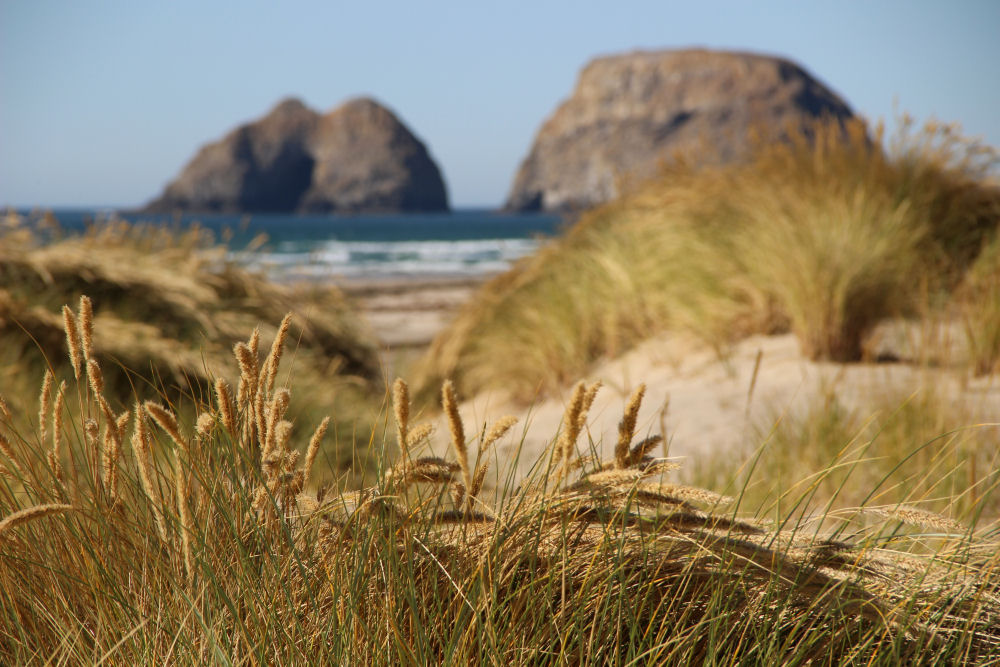 Grass seed-heads in the wind. In background: Finley Rock and Shag Rock, Oceanside, OR