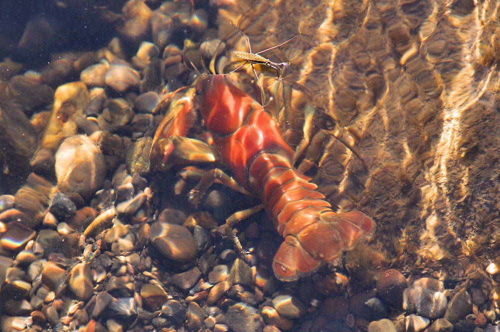 Signal Crayfish - Pacifastacus leniusculus, native to Pacific NW - Trask River, Tillimook OR