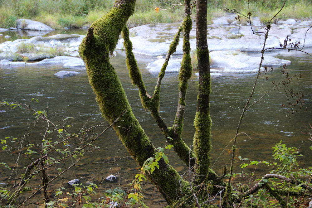 Mossy silhouettes, Trask River, Tillimook OR