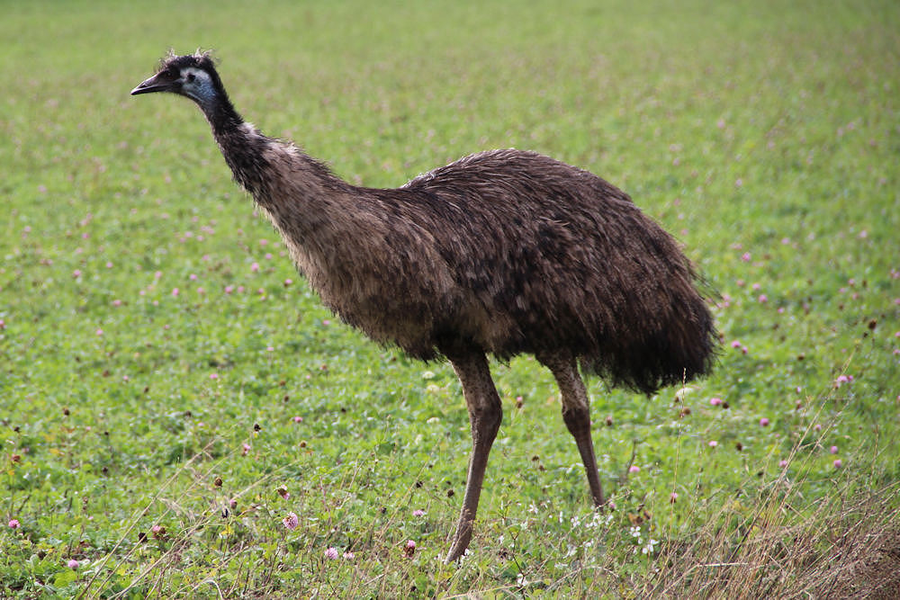 An emu wandering the local farm fields, Hillsboro OR