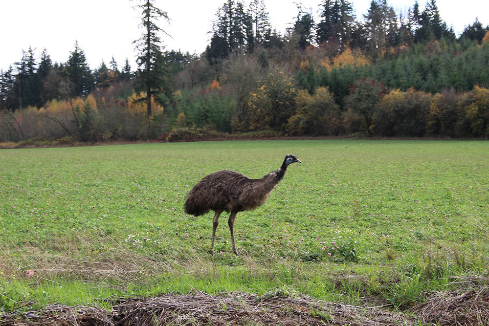 What the ? An un-fenced emu wanders local fields, Hillsboro OR
