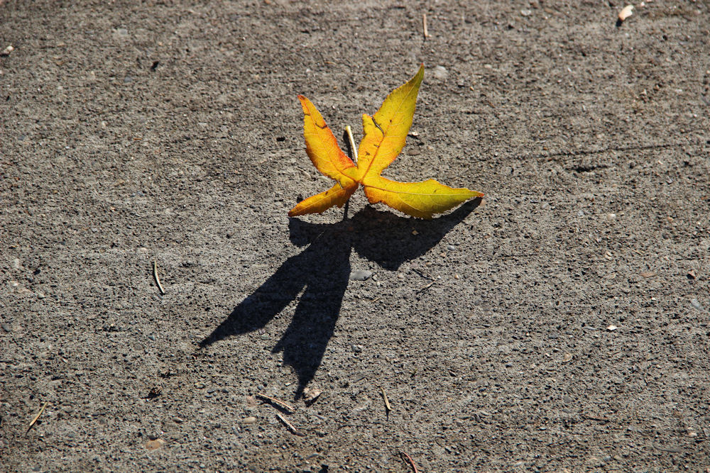 Sweetgum leaf, afternoon shadow