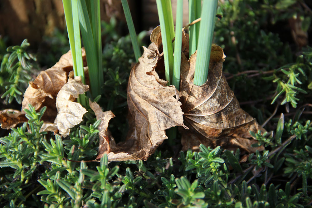 Winter garden - Iris leaves and leaf blankets, Hillsboro OR