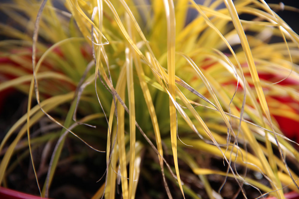 Winter garden: potted ornamental grass