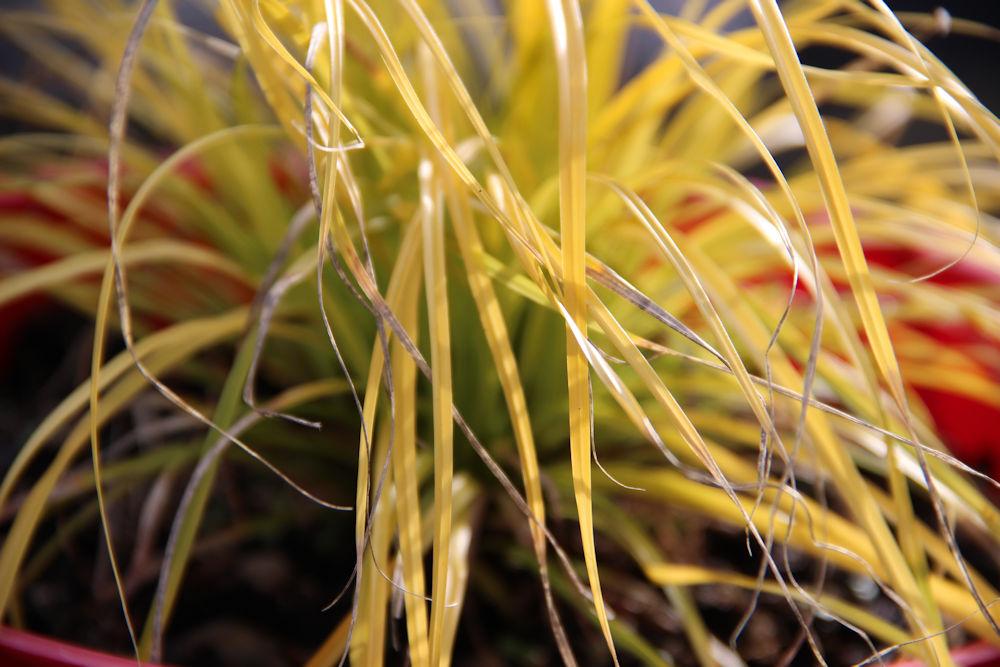 Winter garden: potted ornamental grass