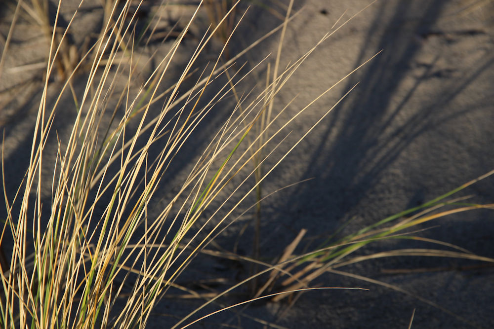Beach grass and shadows, Oceanside, OR