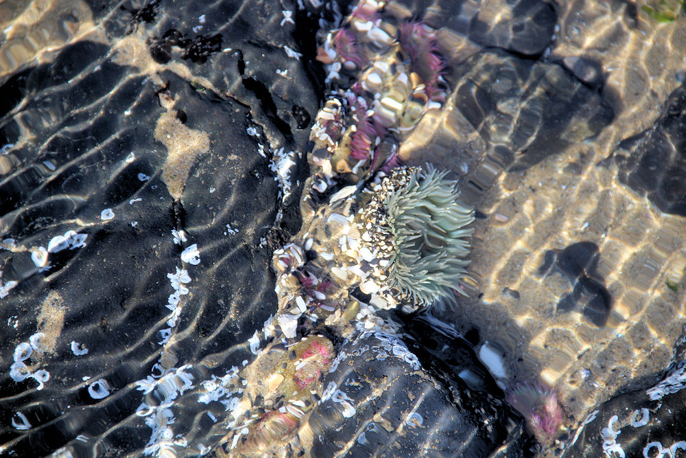 Sea Anemone, Cannon Beach OR