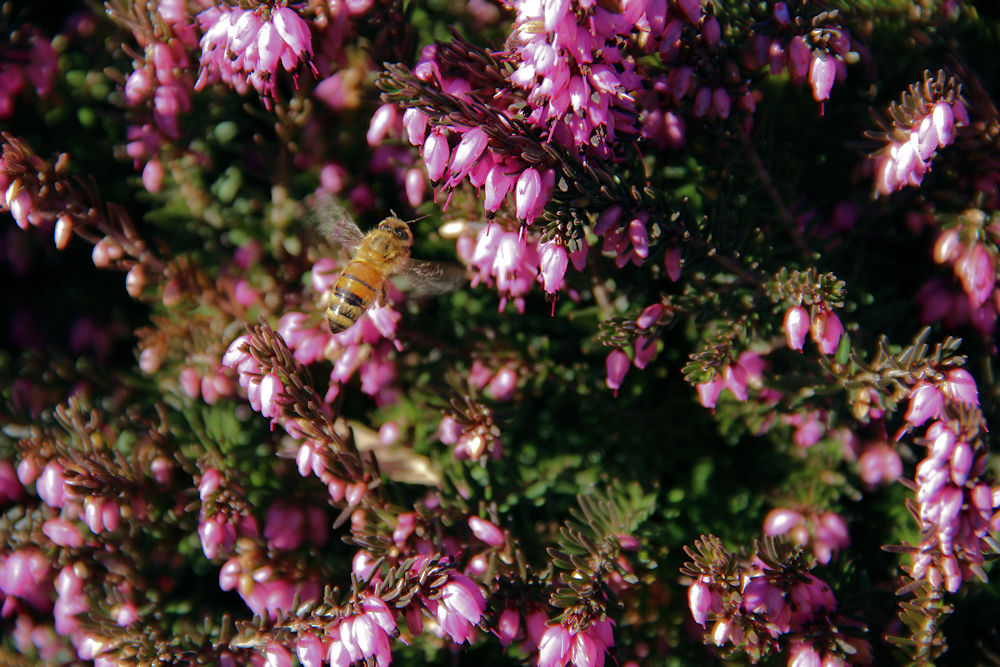 Bee in the Heather, Hillsboro OR - our bees survived the winter this year